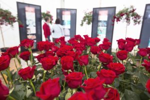 1.000 rosas en Roses